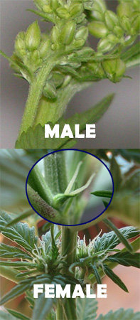 male-or-female-cannabis-plant